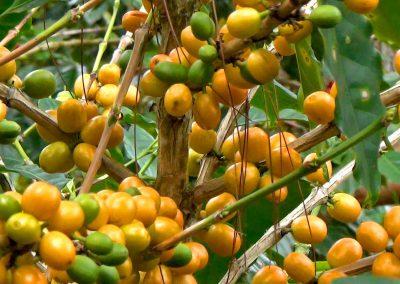 catuai-amarillo