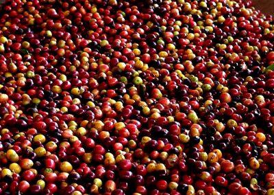 kaffeekirschen-im-becken